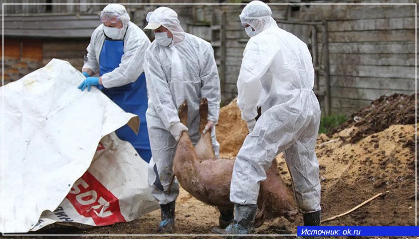 В Европе бесчинствует африканская чума свиней