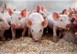 Свинское счастье