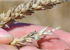 Новости Приднестровья и Молдовы | пшеница неурожай рука