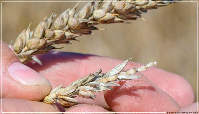 пшеница неурожай рука