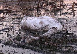 В Приднестровье массовое отравление лебедей