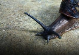 Австралию ждёт нашествие гигантских улиток