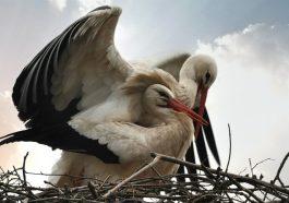 В Приднестровье уничтожают гнёзда аистов