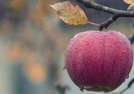 Аграрии начнут платить пошлины за ввоз яблок в Россию