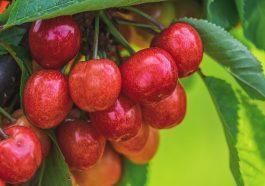 Молдова входит в топ-10 мирового экспорта свежей черешни