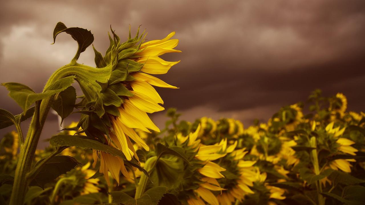 В Молдову привезут семена подсолнечника из Аргентины
