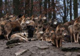 Хищные животные опустошают сёла Приднестровья